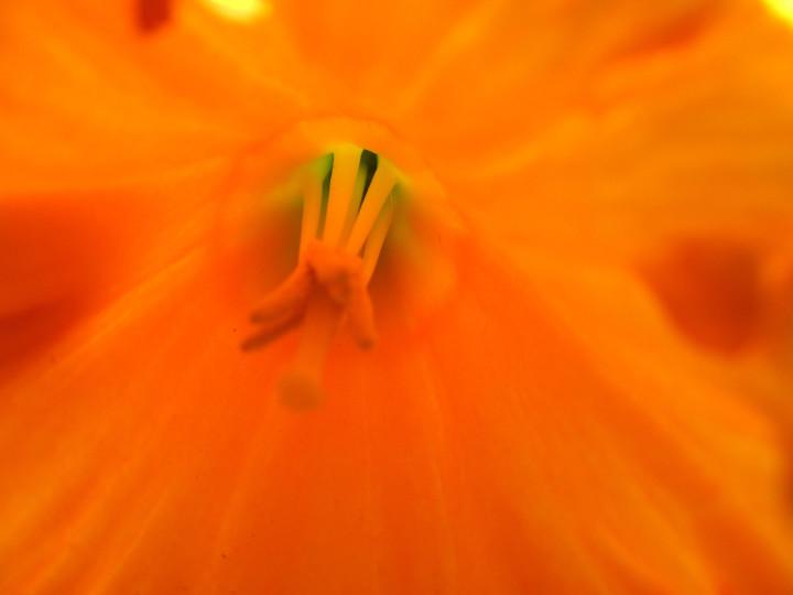 01 Intimate Daffodil 1